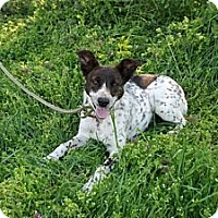 Adopt A Pet :: Biscuit - Albany, NY