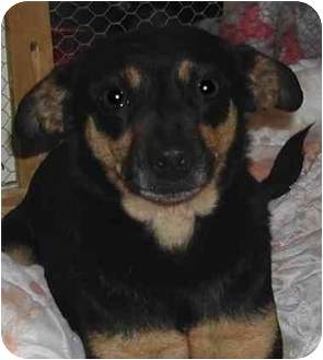 Miniature Pinscher/Chihuahua Mix Dog for adoption in Rolling Hills Estates, California - Betty Boo
