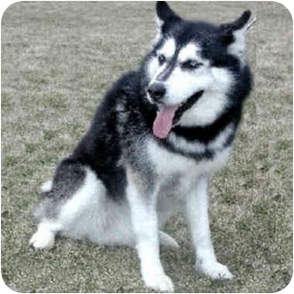 Siberian Husky Dog for adoption in Various Locations, Indiana - Ukia