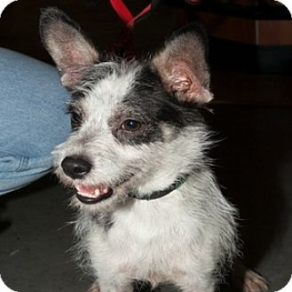 Terrier (Unknown Type, Small) Mix Dog for adoption in Loudonville, New York - Stuart