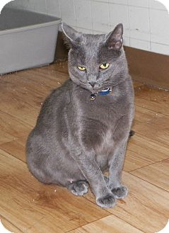Domestic Shorthair Cat for adoption in Dover, Ohio - Gracie