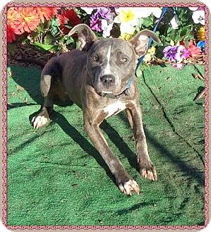 American Pit Bull Terrier/Shepherd (Unknown Type) Mix Dog for adoption in Marietta, Georgia - SHELBY - see video