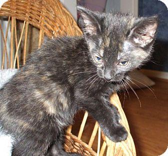 Domestic Shorthair Kitten for adoption in Lenexa, Kansas - Natalie