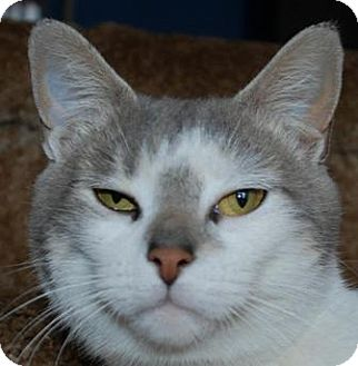 Domestic Shorthair Cat for adoption in Walworth, New York - Addison