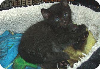 Domestic Shorthair Kitten for adoption in Acme, Pennsylvania - MARIO