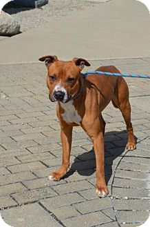 American Pit Bull Terrier/Terrier (Unknown Type, Medium) Mix Dog for adoption in Bellefontaine, Ohio - Timber