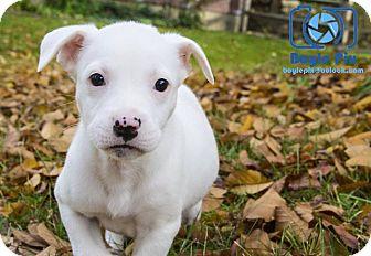Dogo Argentino/Pit Bull Terrier Mix Puppy for adoption in Cincinnati, Ohio - Tonks