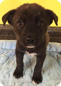 Husky Mix Puppy for adoption in Boca Raton, Florida - Jellybean