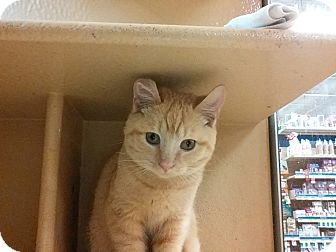 Domestic Shorthair Kitten for adoption in Covington, Kentucky - Ginga Ninja