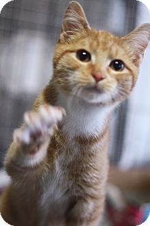 Domestic Shorthair Kitten for adoption in Astoria, New York - Raphael