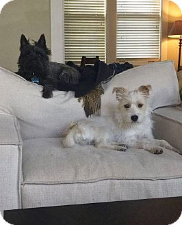 Cairn Terrier/Wheaten Terrier Mix Dog for adoption in Knoxville, Tennessee - DEMI