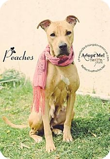 Pit Bull Terrier/Labrador Retriever Mix Dog for adoption in Bedford, New York - Peaches