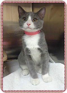 Domestic Shorthair Cat for adoption in Marietta, Georgia - HERCULAS