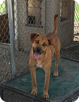 Shepherd (Unknown Type)/Hound (Unknown Type) Mix Dog for adoption in Lewisburg, Tennessee - Liberty