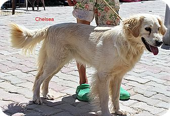 Golden Retriever Mix Dog for adoption in BIRMINGHAM, Alabama - Chelsea