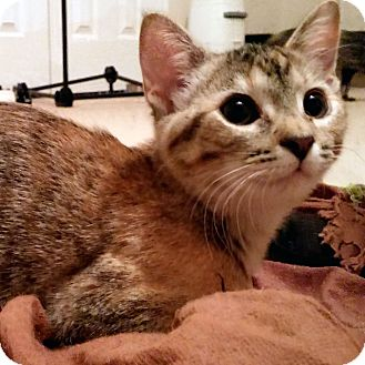 Domestic Shorthair Kitten for adoption in Arlington/Ft Worth, Texas - Petal