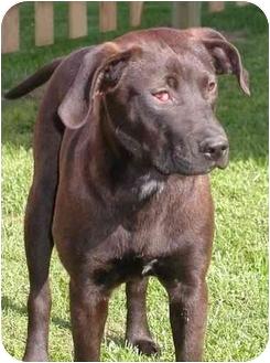Hound (Unknown Type)/Labrador Retriever Mix Puppy for adoption in Sheboygan, Wisconsin - Josie