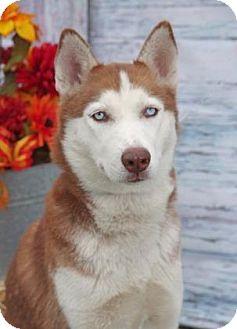Siberian Husky Dog for adoption in Inverness, Florida - Teeko