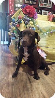 Labrador Retriever Mix Dog for adoption in Chiefland, Florida - Nova