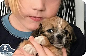 Maltese/Yorkie, Yorkshire Terrier Mix Puppy for adoption in Los Angeles, California - Madison