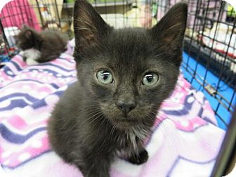 Domestic Shorthair Kitten for adoption in Ellicott City, Maryland - .Popeye