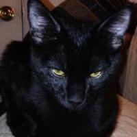 Adopt A Pet :: Chia - Chandler, AZ