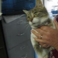 Domestic Shorthair/Domestic Shorthair Mix Cat for adoption in Robinson, Illinois - Lola