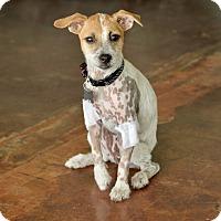 Adopt A Pet :: Phoebe - San Antonio, TX
