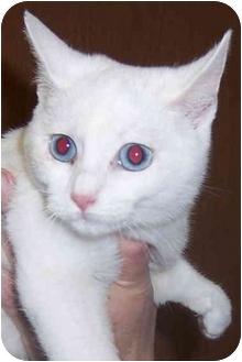Domestic Shorthair Kitten for adoption in Oklahoma City, Oklahoma - Bella