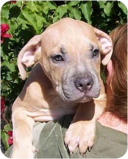American Pit Bull Terrier/Labrador Retriever Mix Puppy for adoption in El Segundo, California - Clem