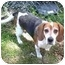 Photo 1 - Beagle Dog for adoption in Portland, Ontario - Oliver