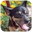 Photo 2 - Chihuahua/Miniature Pinscher Mix Dog for adoption in Palatine, Illinois - Gracie