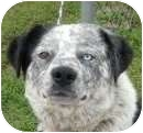 Border Collie/Australian Cattle Dog Mix Dog for adoption in Chicago, Illinois - Clive