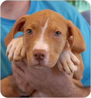 Pit Bull Terrier Mix Puppy for adoption in Las Vegas, Nevada - James