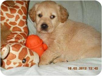 Labrador Retriever Mix Puppy for adoption in berwick, Maine - Kami