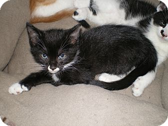 Domestic Shorthair Kitten for adoption in South Windsor, Connecticut - Baby Boy Shay
