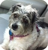 Shih Tzu/Poodle (Miniature) Mix Dog for adoption in Boulder, Colorado - Hannah