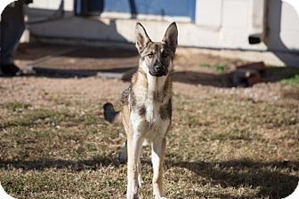 German Shepherd Dog Dog for adoption in Sterling, Kansas - Fritz