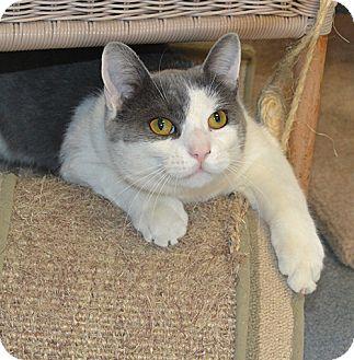 Domestic Shorthair Cat for adoption in Manahawkin, New Jersey - Poseidon