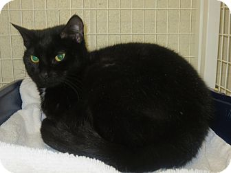 Domestic Shorthair Cat for adoption in Elizabeth City, North Carolina - Vannessa