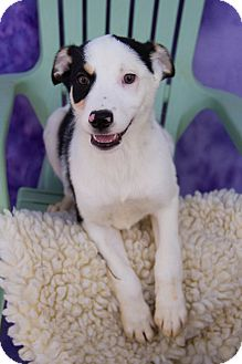 Blue Heeler Mix Puppy for adoption in Fort Lupton, Colorado - Trish