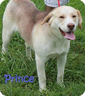 Husky Mix Dog for adoption in Lewisburg, West Virginia - Prince