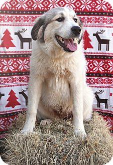 Great Pyrenees Dog for adoption in Starkville, Mississippi - Badger