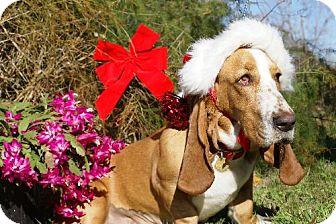Basset Hound Dog for adoption in Grapevine, Texas - Ginger