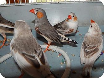 Finch for adoption in Old Fort, North Carolina - Finches