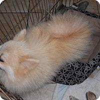 Adopt A Pet :: HARLEY - Raleigh, NC