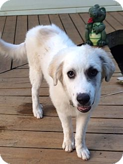 Great Pyrenees Puppy for adoption in Tulsa, Oklahoma - Rex  Adopted