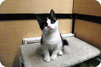 Domestic Shorthair Kitten for adoption in Riverside, California - Finch