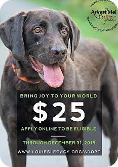 Labrador Retriever/Chesapeake Bay Retriever Mix Dog for adoption in Cincinnati, Ohio - Chocolate - $25 ADOPTION FEE