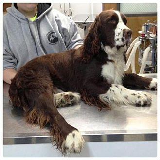 English Springer Spaniel Dog for adoption in Dover, Tennessee - Jake